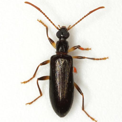 Statira basalis Horn - Statira basalis