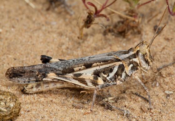 White-lined Grasshopper - Conozoa rebellis - female