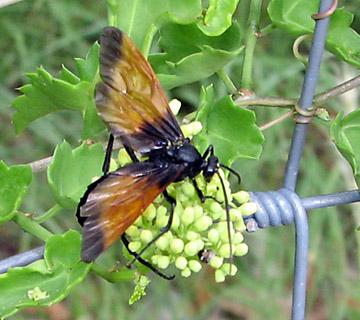 Ichneumon wasp - Rhynchophion flammipennis