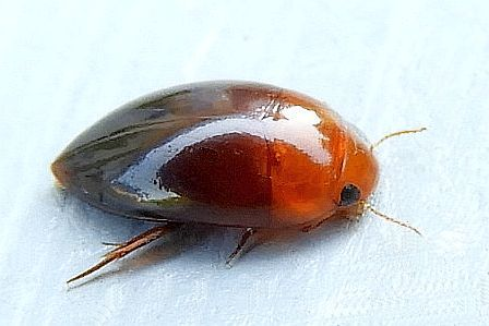 Pennsylvania Beetle  - Hydrocanthus iricolor