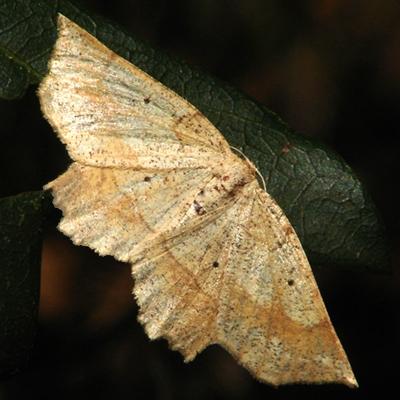 Geometrid Moth - Hodges #6732 - Euchlaena deplanaria