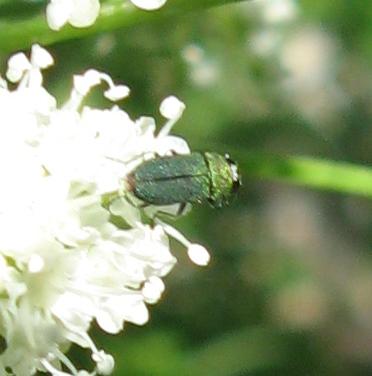Buprestidae 7-18-01 01b - Anthaxia caseyi