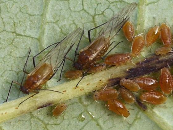 aphids on Sumac - Carolinaia
