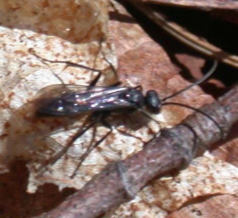 Spider wasp? - Priocnemis minorata