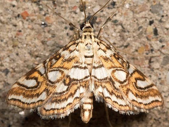 Nymphula Moth Hodges# 4747 - Elophila ekthlipsis
