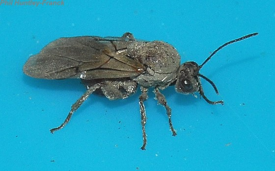 Wasp - Andricus quercuscalifornicus