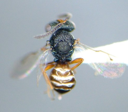 Parasitoid - Eurydinoteloides - male