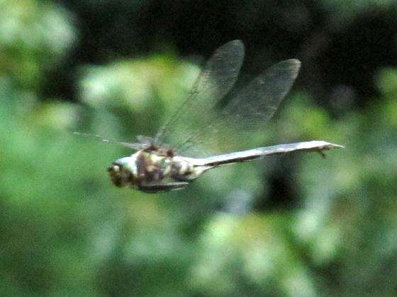 Somatochlora? - Somatochlora tenebrosa - female