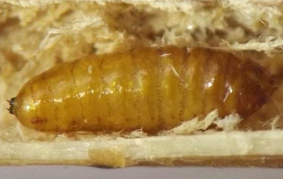 Stem borer, Gentiana - Melanagromyza new-species-on-gentiana
