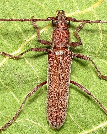 South Texas Elaphidiini  - Neaneflus brevispinus - male