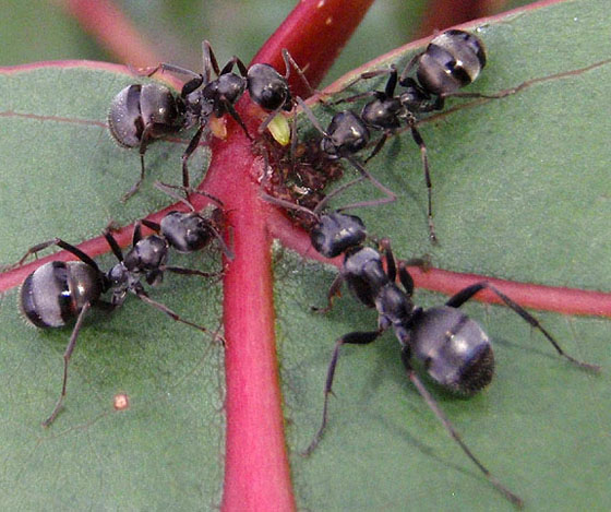 black ants - Formica subsericea