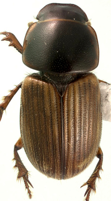 Melinopterus femoralis (Say) - Aphodius femoralis - male