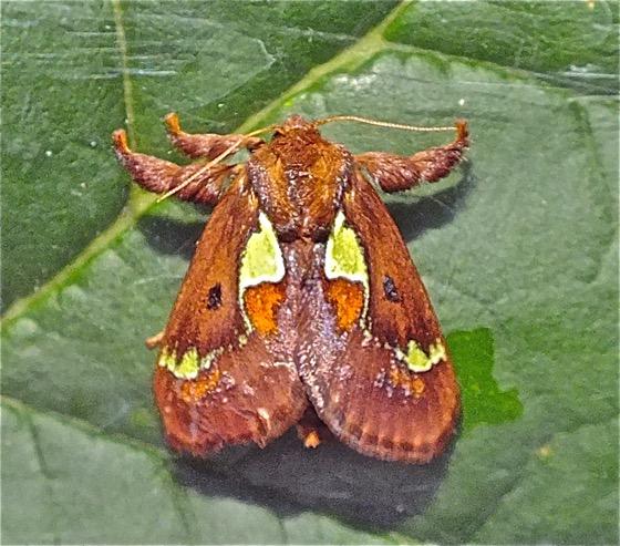 Spiny Oak-sug Moth - Euclea delphinii