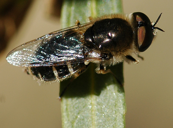 Stratiomyid? - Odontomyia pilosa - male