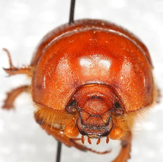 Bradycinetulus fossatus (Haldeman) - Bradycinetulus fossatus