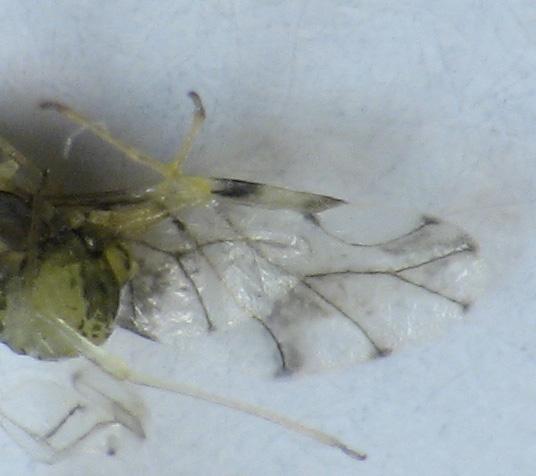 Infestation on Asclepias syriaca - Myzocallis asclepiadis
