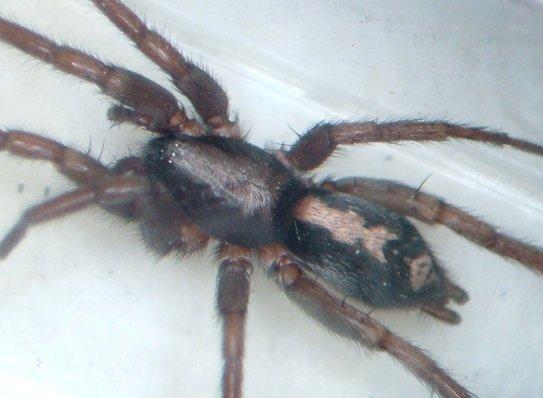 Parson Spider - Herpyllus ecclesiasticus - female