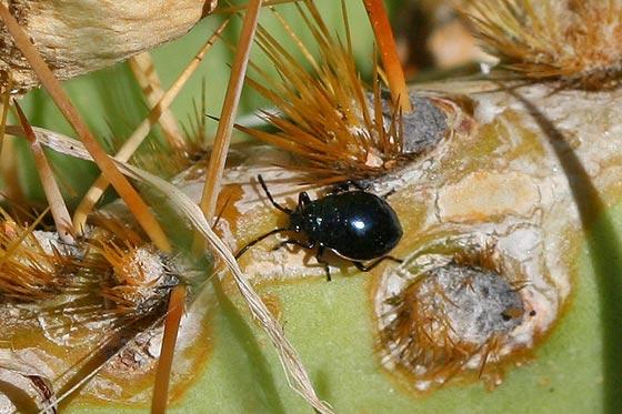 Prickly Pear Fruit Beetles - Largus