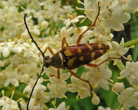 Banded Flower Longhorn Beetle - Typocerus velutinus