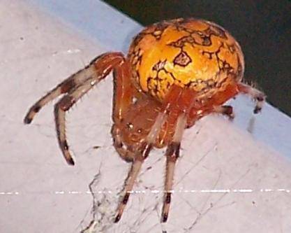 Marbled Orb? - Araneus marmoreus