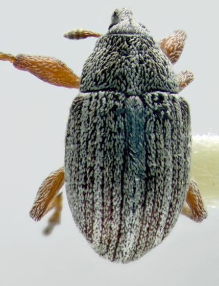 Curculionidae, dorsal - Anthonomus rufipes