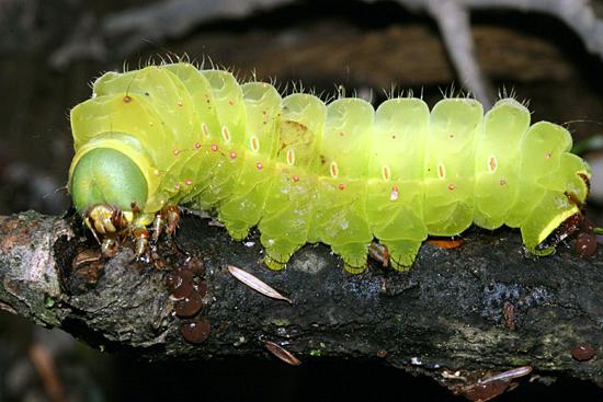 Luna Moth caterpillar - Actias luna - BugGuide.Net