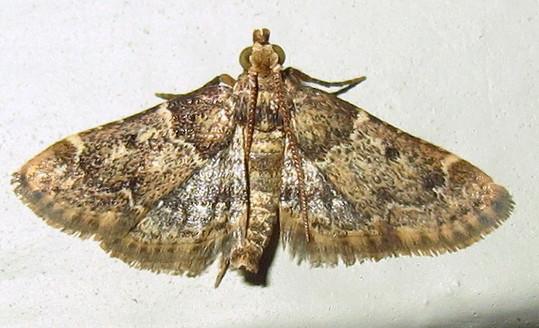Aglossa-type pyralid - Pyralis manihotalis