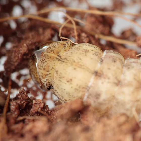 Pupating Caterpillar E - Anicla infecta