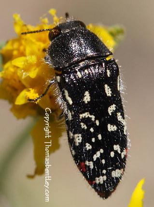 Buprestid - Acmaeodera rubronotata