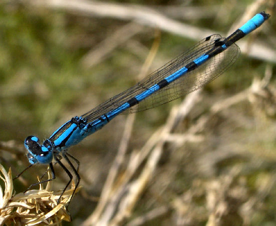 Northern Bluet - Enallagma annexum - male