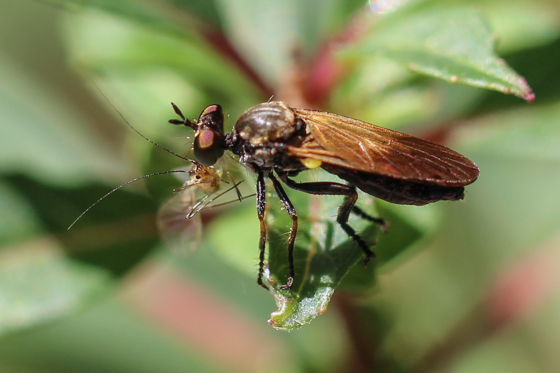 Robber Fly with Prey - Eudioctria sackeni