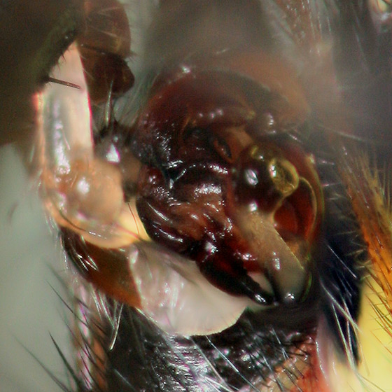 Mating - Argiope aurantia - male - female