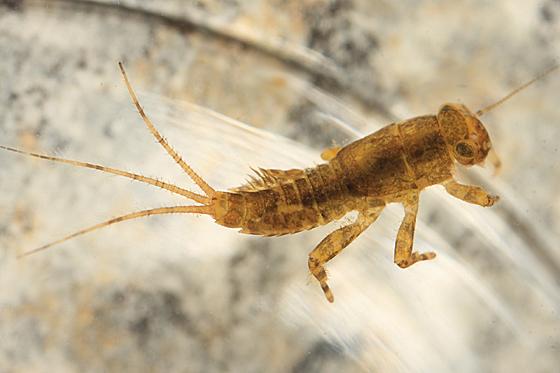 Mayfly larva - Ephemerella invaria