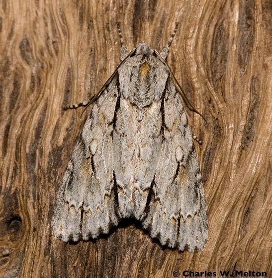 Moth - Acronicta thoracica