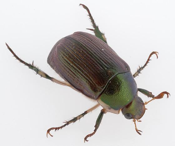 Callistethus marginatus