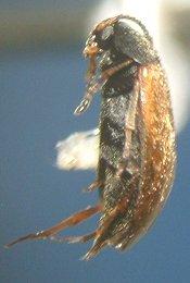 Beetle - Anaspis flavipennis
