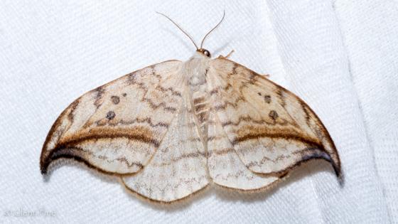 Arched Hooktip - Drepana arcuata - female