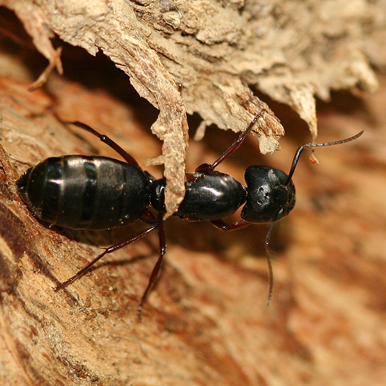 big black ant - photo #14