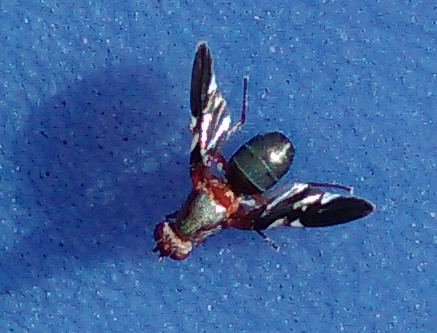 Fly - Delphinia picta