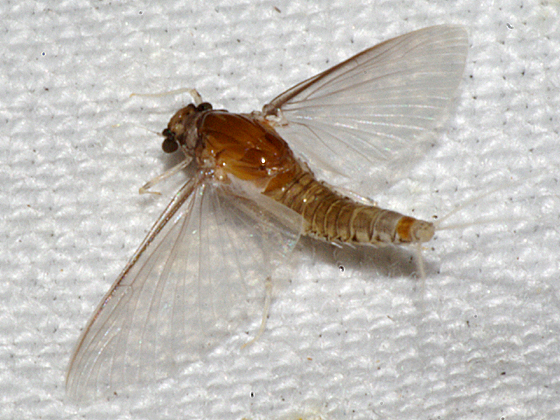 Small Square-gilled Mayfly - Caenis - female