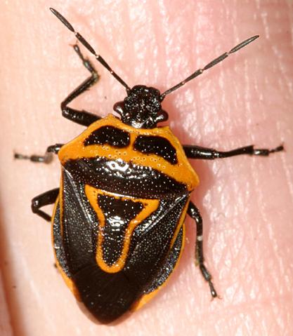 Stink Bug - Perillus bioculatus