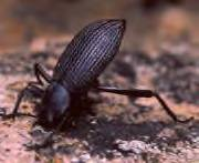 Stinkbug? - Eleodes hispilabris