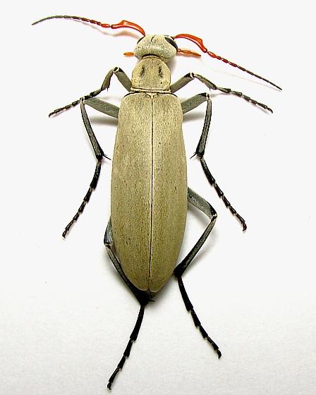 South Texas -  Meloidae - Epicauta albida - male