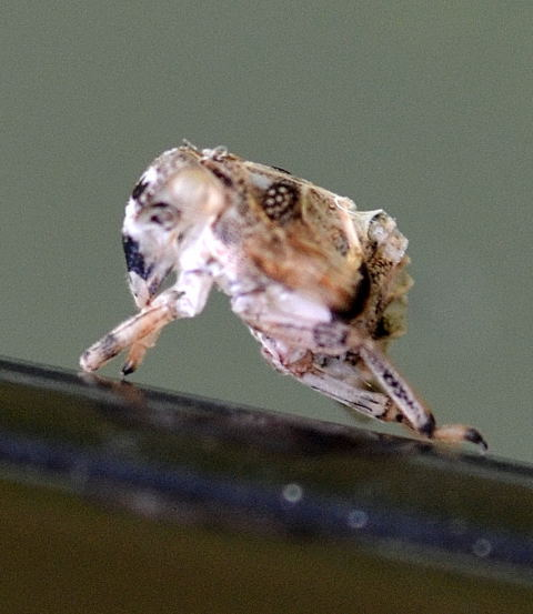 Planthopper Nymph - Thionia