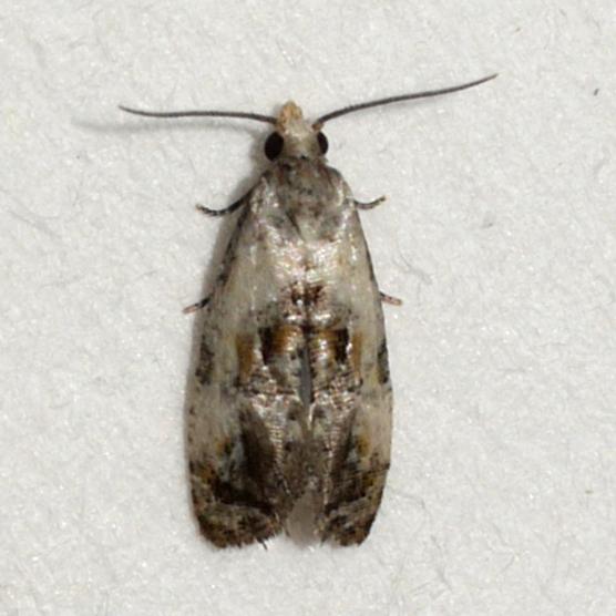 moth - Cochylis