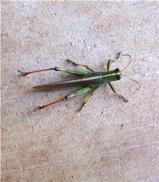 grasshopper - Schistocerca lineata - male