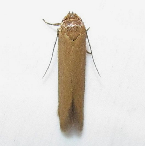 Hodges #1221 - Holcocera immaculella - Holcocera immaculella