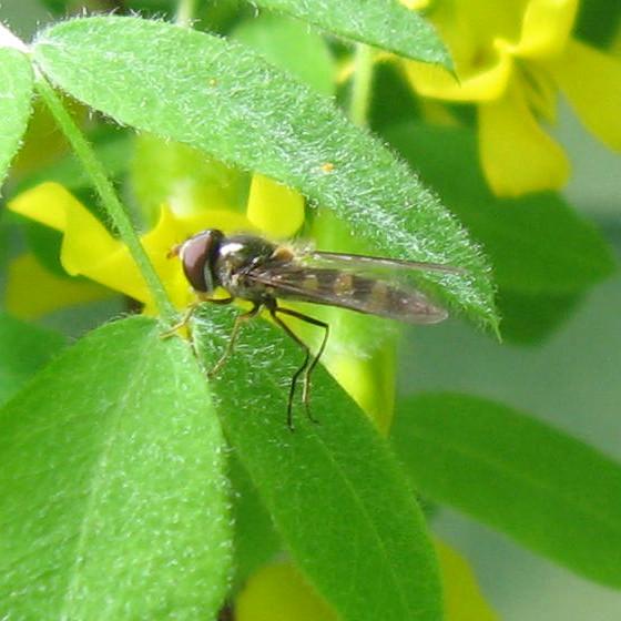 Syrphidae 01 - Platycheirus