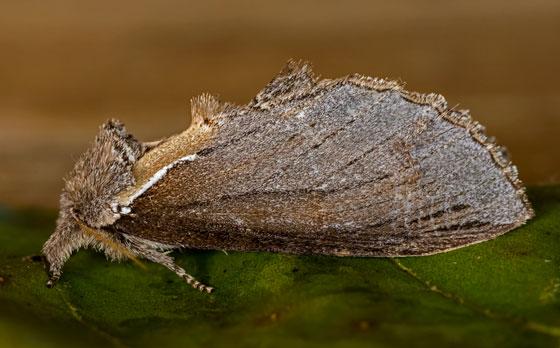 MothWhiteBaselDash07132019_GH_ - Pheosidea elegans