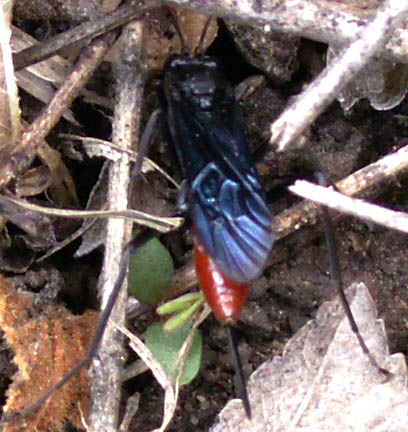 Neon Blue & Orange Wasp - female